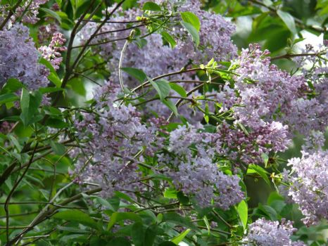 Lilac in the morning sunshine