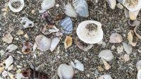 Shells in Kaiaua NZ