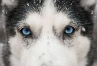 close-up-husky-eyes