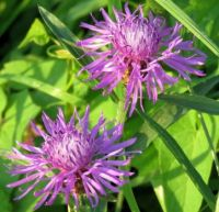 greater knapweed (grote centaurie)