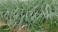 Striped Grass (hard)