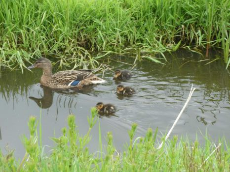 Mother Mallard Duck, with her ducklings (it were 5 in total)