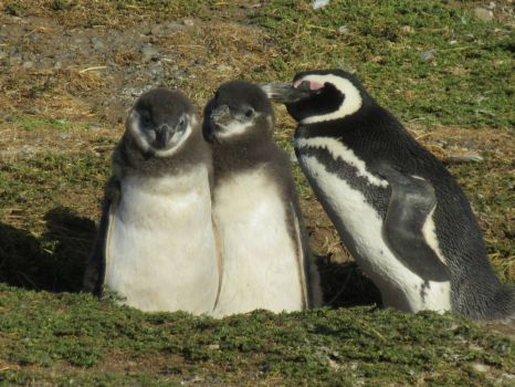 Magellanic Penguins on Magdalena Is., Chile