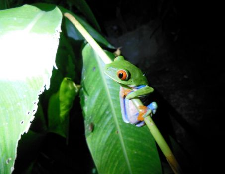 Red-Eyed Tree Frog Costa Rica