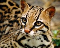 The REAL ocelot