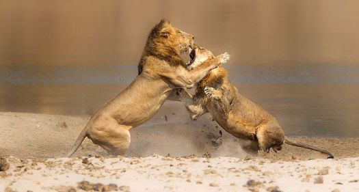 fighting_lion