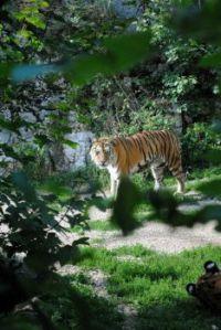 Tigers hide-and-seek