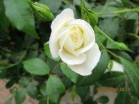 Rose Sorrento Italy