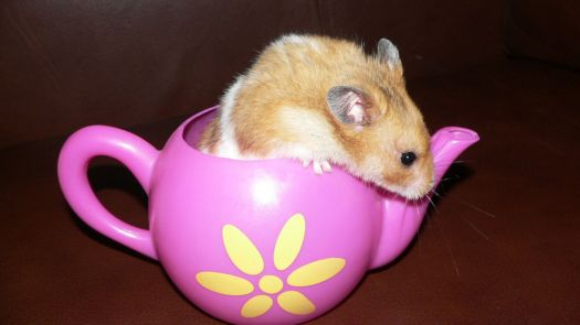 Hampster in a teapot