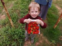 Strawberry picking with Piggly