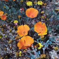 Poppies on Tejon Ranch, CA (larger)