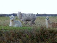 Local Llamas