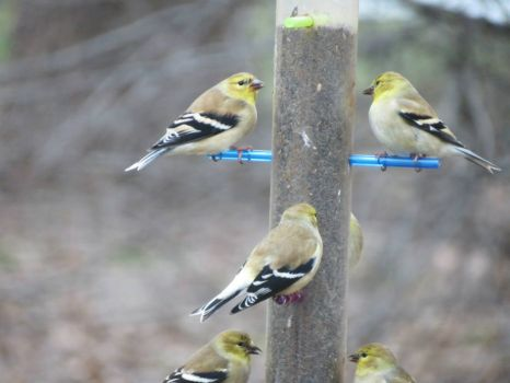 Goldfinches on Thistle Seed