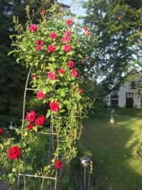 Many roses in a few time....