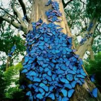 Blue butterflies on oak
