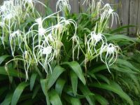 Rain soaked spider lilies