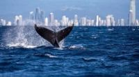 Whale with a Gold Coast backdrop