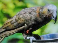 Kaka native n.z. parrot