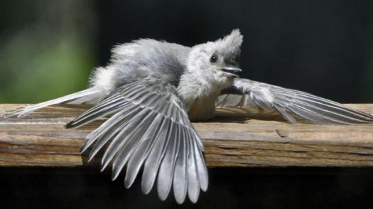 OOMMPPHH!! Grey Turaco fledgling learning to fly ...
