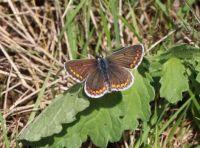 Brown argus - Aricia agestis (bruin blauwtje)