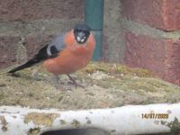 Breakfast time for the male Bullfinch.