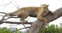 Leopard in Mala Mala, South Africa