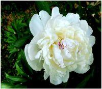 Květ---
