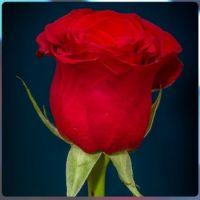 poupátko růže ........