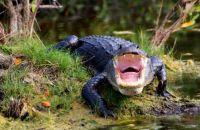 angry gator