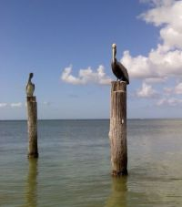 Pelicans Perching on the pilings