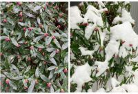 Daphne Odora - What a difference a day makes!!