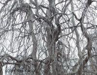 Bare Branches