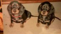 Donner and Blitzen babies