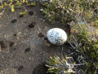 Icelandic Bird Egg