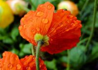 Poppy and raindrops