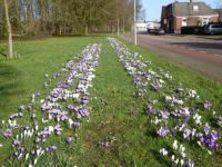 A border of crocusses in the park