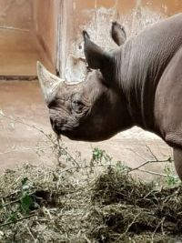 Rhino enjoying lunch