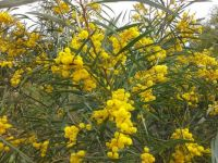 Western Australia Wattle in full bloom (smaller)