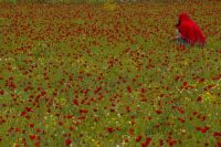 Gathering poppies
