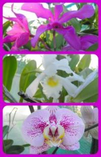 Steve's Orchids Collage. Smaller.