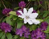 Snow Queen Clematis with Putple Rhododendrom