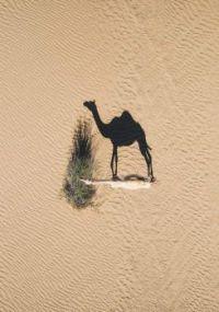Shadow Camel
