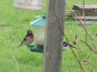 Happy Grosbeaks at the feeder