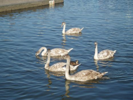 Young swans at Lymington