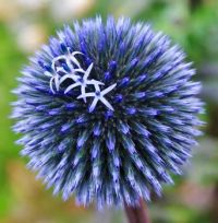 Echinops Blue Veitch flowering in the garden