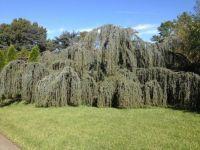 A Tree in the Missouri Botanical Garden
