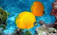 Exotic Zitronenfalter Fish