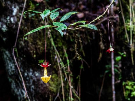 Serra da Bocaina - Nematanthus brasiliensis