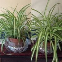 my spider plant at 5 and 10 months
