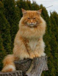 A Lovely Large Main Coon Cat